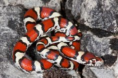 red milk snake by Young Cage Pet Quotes Cat, Milk Snake, Beautiful Snakes, Pet Snake, Animal Room, Pet Fish, Smiling Dogs, Pet Rabbit, Little Pets