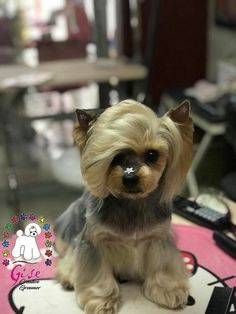 Dog Grooming Styles, Dog Grooming Clippers, Pet Grooming, Yorkshire Terrier, Yorkie Haircuts, Creative Grooming, Cute Dogs Breeds, Yorkie Puppy, Baby Dogs