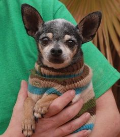 Nevada Society for the Prevention of Cruelty to Animals, Inc. (Nevada SPCA) Las Vegas, NV 89118 Eisenhower~ <3 Humble, tiny senior, Chihuahua, neutered boy, 12 yrs. He is GOOD w/ GENTLE DOGS & CATS! He only weighs 4 lbs, so please take extra safety precautions for him in your home & yard. A quiet home environment is ideal.