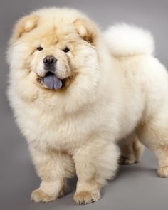 Google Image Result for http://s3-ap-southeast-1.amazonaws.com/findyourpet/Images/CMS/Dogs/chowchow-240x300.jpg
