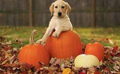 fond d'écran gratuit automne, l'automne magnifique, citrouilles et un chien blanc