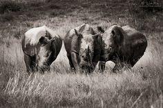 Rhinos at Play by Rudi van den Heever