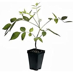 """Amazon.com : Spectacular Blue Moon Wisteria Tree Plant 8-11"""" Tall Potted Plant Fragrant Flowers Seeds BulbsPlants& MoreAttracks Hummingbirds, in Dormancy : Garden & Outdoor Tall Potted Plants, Plants Sunny, Cool Plants, Outdoor Plants, Garden Plants, Bushes And Shrubs, Lilac Bushes, Best Smelling Flowers, Wisteria Plant"""