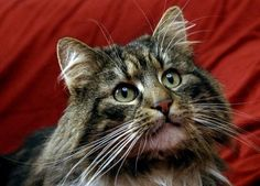 Norwegian Forest Cat Breed Profile - Breed Information with ... - #cat - Different Bengal Cat Breeds at Catsincare.com