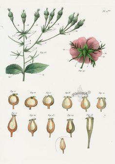 P. J. Redoute Les Roses Prints 1828 Botanical Drawings, Botanical Prints, Aurora Rose, Joseph, Antique Prints, Flora, Antiques, Illustration, Animals