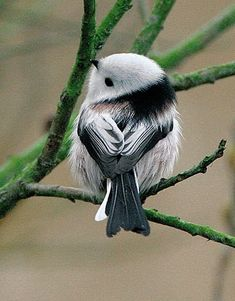 Long-tailed tit - so cute. The Long-tailed Tit or Long-tailed Bushtit (Aegithalos caudatus) is a common bird found throughout Europe and Asia. There are several extensive accounts of this species, most notably Cramp and Perrins, 1993; Gaston, 1973; and Harrap and Quinn, 1996. The majority of relevant research has been directed at its social and breeding behaviour. More