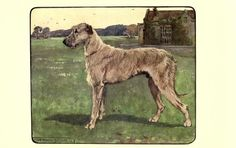 The Irish Wolfhound.  Illustration by G. Vernon Stokes from 'British Dogs at Work' by A. Croxton Smith. Published 1906