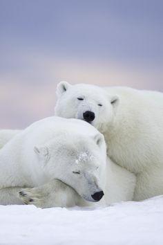 Polar Bears and Pink Sky by Matthew Studebaker.