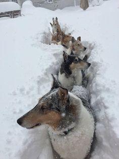 Collie Congo line Smooth Collie, Rough Collie, Collie Dog, Blue Merle, Shetland Sheepdog Puppies, Dog Winter Coat, Dog Mixes, Herding Dogs, Best Dog Breeds