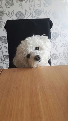 bichon frise puppy, bichon frise… The post Bichon Frise Gifts Dogs And Puppies appeared first on Gwen Howarth Dogs. Baby Puppies, Cute Puppies, Cute Dogs, Dogs And Puppies, Bichon Frise Rescue, Bichon Dog, Teacup Chihuahua, Havanese, Maltese Poodle