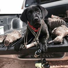"""** """"Whys yoo name me after a rifle? Whys yoo makes me ride home wif de morbid pile o' dead ducks?"""" ** """"Whys yoo name me after a rifle? Whys yoo makes me ride home wif de morbid pile o' dead ducks? Dog Photos, Dog Pictures, Rifles, Waterfowl Hunting, Grouse Hunting, Homeless Dogs, Labrador Retriever Dog, Lab Puppies, Black Labrador"""