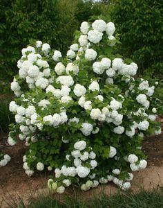 European Snowball Snow Flower, Moon Nursery, Homestead Gardens, Trees And Shrubs, Garden Plants, Wonders Of The World, Homesteading, Perennials, Yard