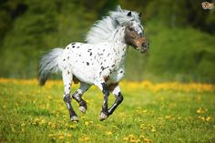 Appaloosa----Best known for their colourful leopard spotted coat, the Appaloosa breed has a rich history. The Nez Perce people who lived along the Palouse River developed the breed, although they lost most of their horses in the Nez Perce war in 1877. Gradually the name morphed from the Palouse horse into Appaloosa.