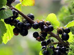 Pruning Fruit Trees, Fruit Garden, Grape Vines, Paradis, Gardening, Agriculture, Plant, Vineyard Vines, Lawn And Garden
