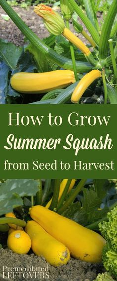 How to Grow Summer Squash, including how to plant squash seeds, how to transplant squash seedlings, how to care for squash plants, and when to harvest.
