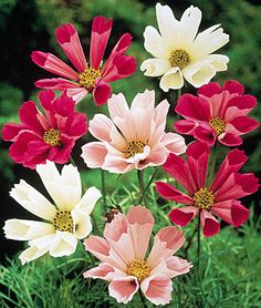 """Cosmos, Seashells Mix  Petals are like lightly fluted seashells.  Flowers 3"""" across,petals lightly rolled like seashells in creamy and pastel white, pink, rose and carmine. Bright, colorful daisy-like blooms on tall stems with ferny leaves. GARDEN HINTS:Tolerates poor soil, heat and drought. Sow directly in the garden, where you want them to grow, after last spring frost. Grows best in full sun."""