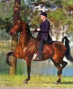 CH Penny's Stonewall produced several colts when bred to CH Superior Odds like Penny's Superior Stonewall who sired CH The Homecoming Queen American Saddlebred, Appaloosa Horses, Modern Pictures, Horse Care, Horse Breeds, Thoroughbred, Show Horses, My Ride, Exotic Pets
