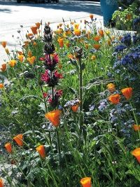 Design tips for photogenic gardens california native for Southern california native plants