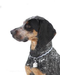 Bluetick coonhound?