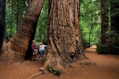 Trail through base of redwood tree, Henry Cowell Redwoods State Park, Felton, Santa Cruz County, California