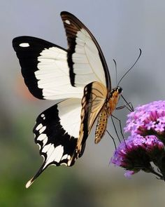 butterfly and blossom