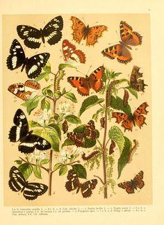 Fr. Berge's Schmetterlingsbuch nach dem gegenwärtigen Stande der Lepidopterologie neu bearb. und hrsg. von Professor Dr. H. Rebel ...  Stuttgart,E. Schweizerbart,1910.  biodiversitylibrary.org/page/9445521
