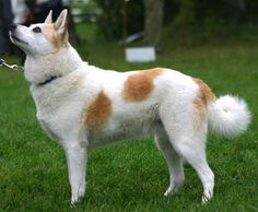 Norrbottenspets - Swedish - Nordic Hunting Dog