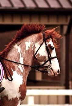 Beautiful red roan paint