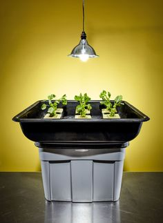 How to Grow Hydroponic Plants at Home