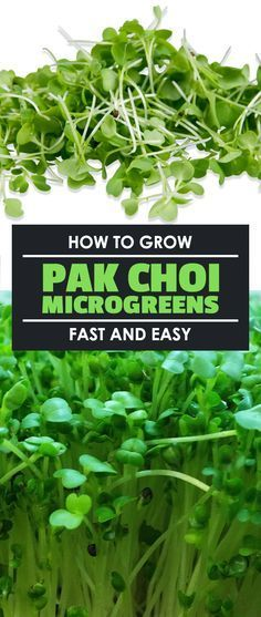 Pak choi microgreens, or Chinese cabbage microgreens, are a staple in the kitchen. They grow in under 10 days, too, so learn how to grow them yourself.