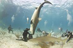 Her köpekbalığını Jaws zannetmeyin. Bazıları gerçekten dost canlısı olabiliyor.