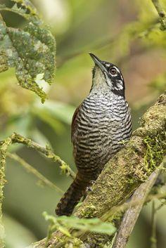 Cantorchilus nigricapillus - Bay Wren - Cucarachero Cabecinegro - Cucarachero Ribereño 04 by jjarango**