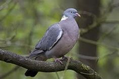 British garden birds - Wood Pigeon
