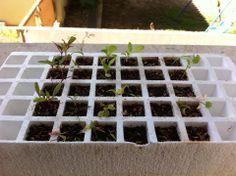 Este es nuestro germinador viejo, la mayoria de las plantas ya murieron pero seguimos cuidandolo por las plantas que quedan