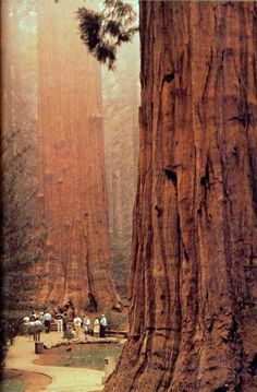 Sequoias at Redwood national park, California.