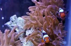 Picasso Onyx Clownfish for Sale Online Live Aquarium Fish, Rainbow Bubbles, Fish Stock, Clownfish, Marine Fish, Tropical Fish, Program Design, Picasso, Color Patterns