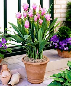 10 pcs/bag Thailand curcuma seeds,also called Siam Tulip seeds,rare flower seeds a member of the Zingeraceae family garden plant Rare Flowers, Bulb Flowers, Tulips Flowers, Beautiful Flowers, Tulip Seeds, Flower Seeds, Flower Pots, Tropical Garden, Tropical Plants