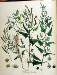 Fjæremelde - atriplex prostrata - Edible leaves