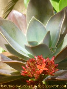 "Suculentas do jardim da ""Casa Catita""- Algarve"