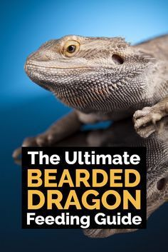 , Ultimate Bearded Dragon Diet Guide - What Do Bearded Dragons Eat? , What do bearded dragons eat? What are the common mistakes that bearded dragon owners make with their diet? This ultimate guide to feeding bearded drag. Bearded Dragon Feeding, Bearded Dragon Cage, Bearded Dragon Habitat, Bearded Dragon Food List, Reptiles And Amphibians, Mammals, Pet Lizards, Pet Store, Health And Fitness