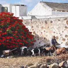 Everyday life in Teguise! #ExploreLanzarote a spasso per le vie di #Teguise cogliamo attimi di vita quotidiana rurale e autentica. Osservare l'amore con cui questo pastore accudiva le sue capre ci ha fatto pensare che nell'uomo forse non tutto è perduto... :) #Lanzarote #ExploreCanarie #Spagna