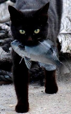 dinner...cat holding a fish