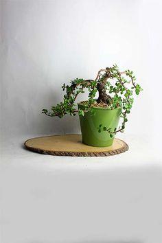 Dwarf Jade Bonsai Tree by LiveBonsaiTree by LiveBonsaiTree on Etsy