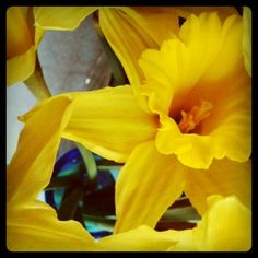 Daffodil. 'New beginnings' in the language of flowers. Very appropriate right now.