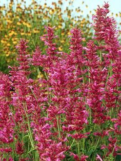 "Agastache Heat Wave. ""Plants tolerate a hot, dry site. Avoid wetness."" This is sitting on the kitchen counter. Plant it on the sunny end of the herb garden."