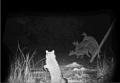 """Even the raccoon stops to say, """"Oh, deer."""""""