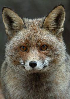 Red Fox by Carlos M Garcia