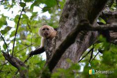 Los #monos #carablanca son de los más #simpáticos habitantes de #Tortuguero #CostaRica