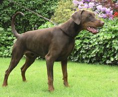 The Doberman Pinscher is among the most popular breed of dogs in the world. Known for its intelligence and loyalty, the Pinscher is both a police- favorite bree Doberman Pinscher Blue, Blue Doberman, Doberman Dogs, Dobermans, Schnauzer, Doberman Colors, I Love Dogs, Cute Dogs, Guard Dog Breeds