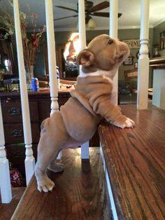 Bulldogs cuteness